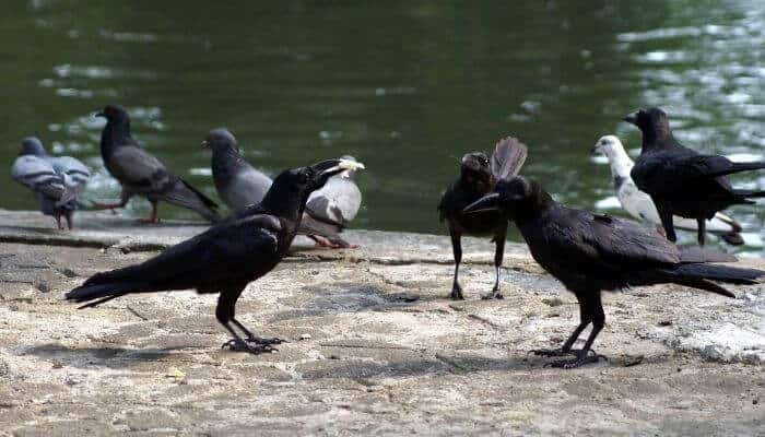 crow and pigeons