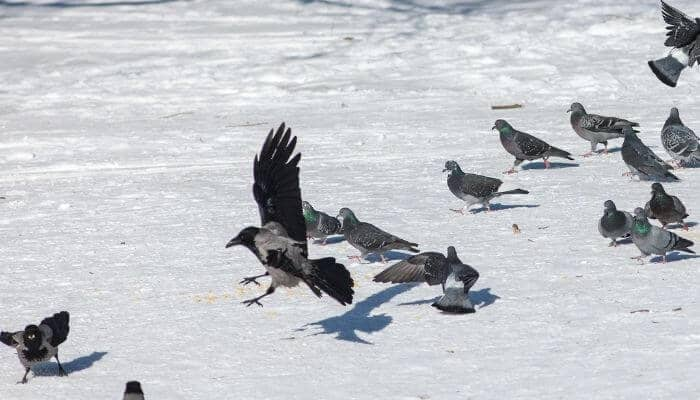 crow with pigeons