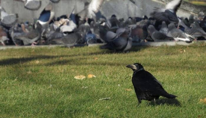 do crows eat pigeons