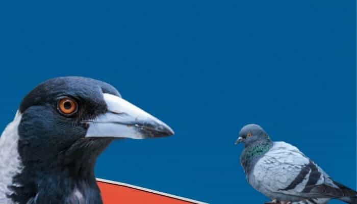 do magpies eat pigeons