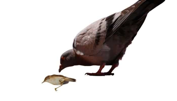 do pigeons eat other birds