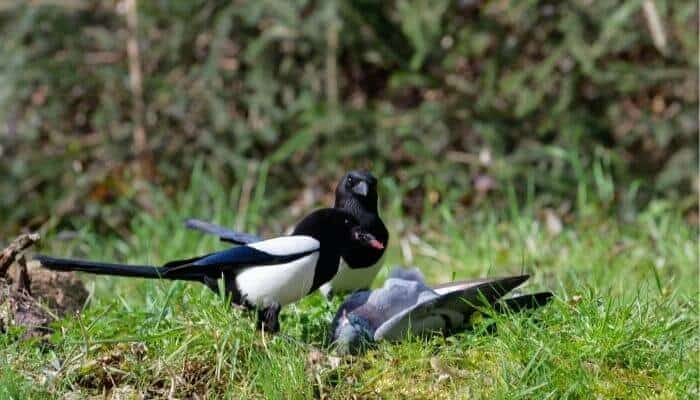magpie eating pigeon
