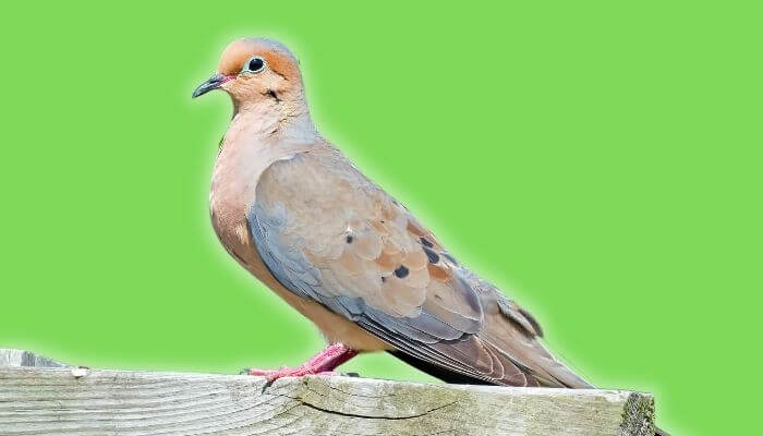 mourning dove breed guide