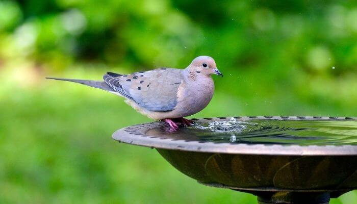 mourning dove having a drink