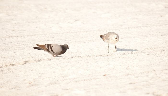 pigeon and seagull on beach