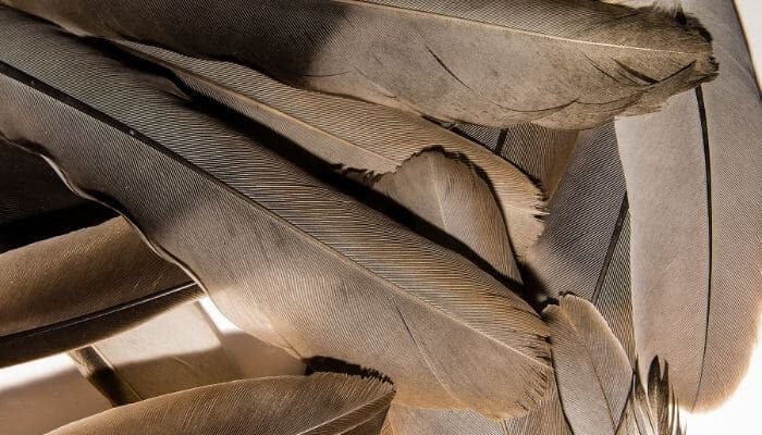 pigeon feathers