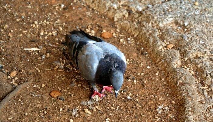 do pigeons eat clay