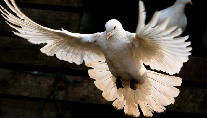 doves are poorly equipped to survive