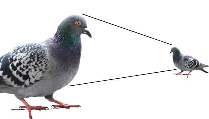 how big is a pigeon