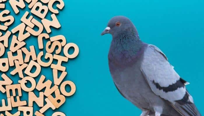 how to spell pigeon