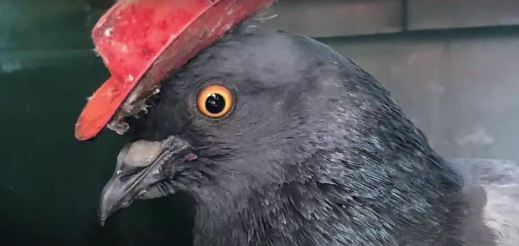 pigeon with cowboy hat