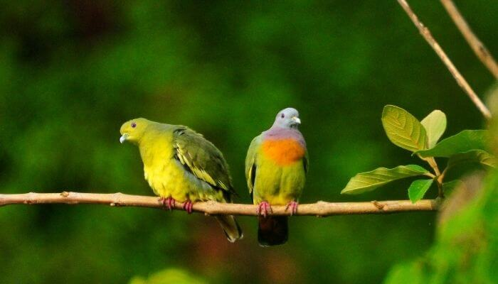 pink necked green pigeon pair