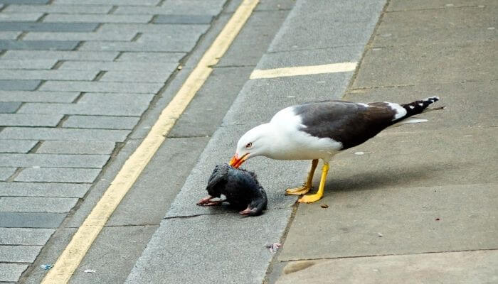 seagull eating pigeon
