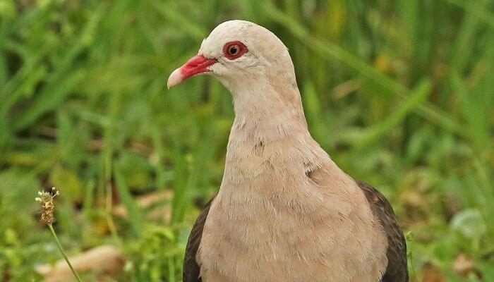 close up of pink pigeon