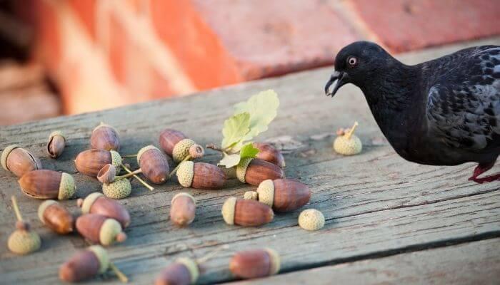 pigeon looking at acorns